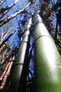 Bambus 8500